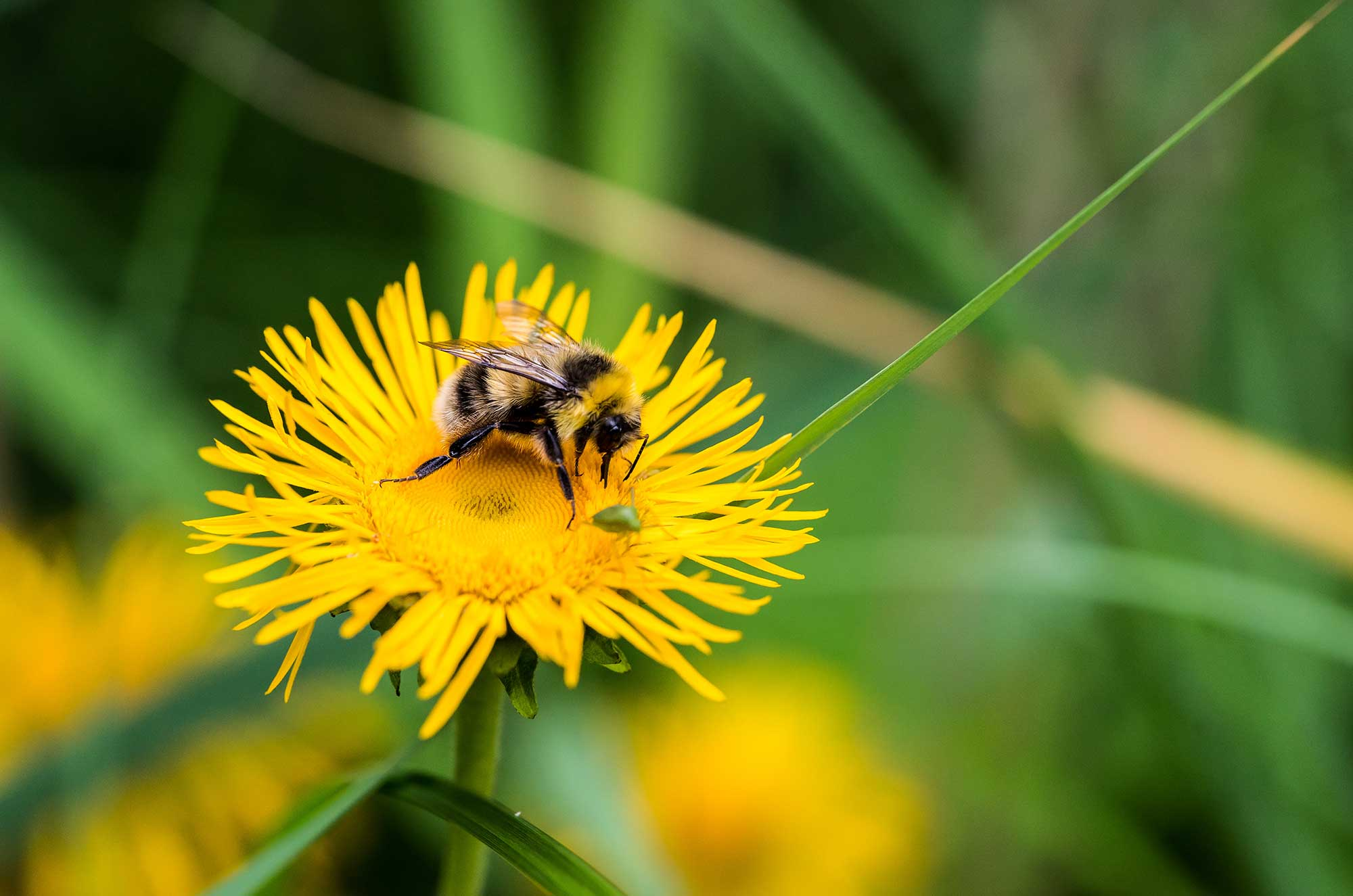 Die Biene und der Löwenzahn