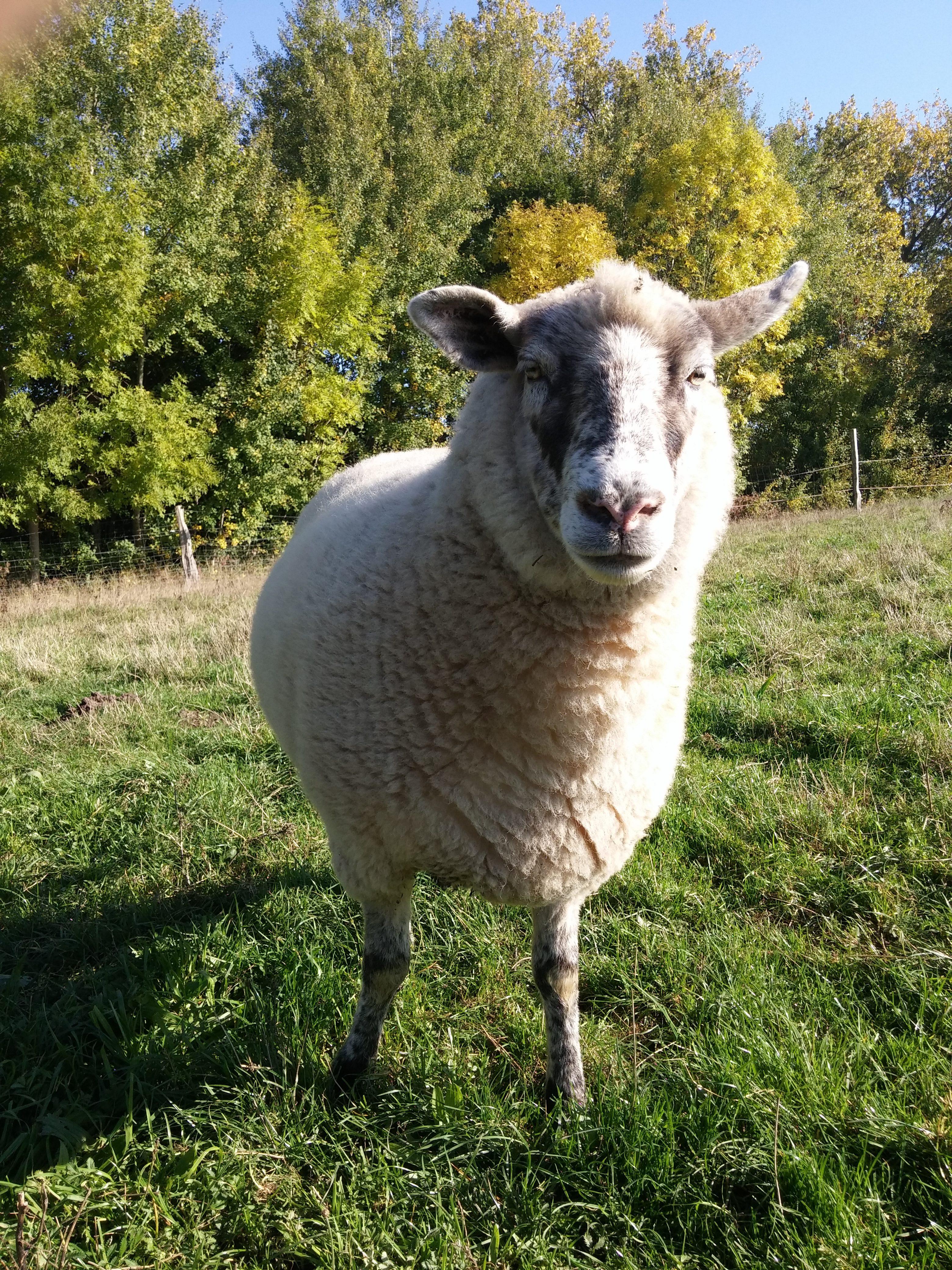 Ein Schaf im Kinderbauernhof