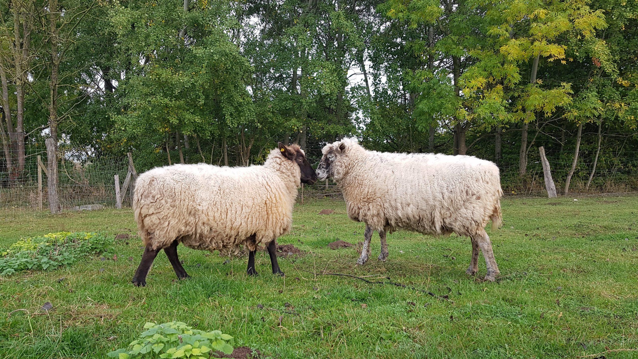 Schafsliebe